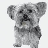 Yorkie Prints by Emily Burrowes
