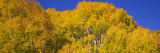 View of Aspen Trees in a Forest, Telluride, San Miguel County, Colorado, USA Photographic Print by  Panoramic Images