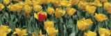 Yellow Tulips in a Field Fotoprint van Panoramic Images,