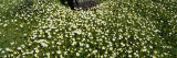 View of Daisy Flowers on a Landscape, Grand Rapids, Michigan, USA Photographic Print by  Panoramic Images