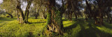 Olive Trees on a Landscape, Corfu, Ionian Islands, Greece Photographic Print by  Panoramic Images