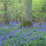 Bluebells in a Wood in England, United Kingdom, Europe Photographic Print by John Miller