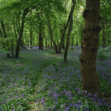 Bluebells in an Ancient Wood in Spring Time in the Essex Countryside, England, United Kingdom Photographic Print by Jeremy Bright