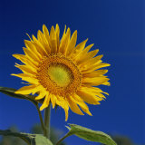 Sunflower, Tuscany, Italy, Europe Photographic Print by John Miller
