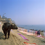 Water Buffalo and Drying Washing on the Banks of the Ganges, Varanasi, Uttar Pradesh State, India Photographic Print by Tony Gervis