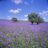 Bluebells, Dartmoor, Devon, England, United Kingdom, Europe Photographic Print by David Lomax