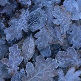 Frost on Leaves Photographie par John Miller
