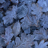Frost on Leaves Photographic Print by John Miller
