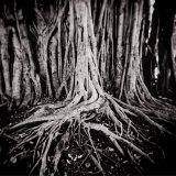 Figus Tree Growing in Park in Miramar, Havana, Cuba, West Indies, Central America Photographic Print by Lee Frost