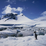 Single Gentoo Penguin on Ice in a Snowy Landscape, on the Antarctic Peninsula, Antarctica Photographic Print by Geoff Renner