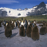 King Penguins and Chicks, Glacier and Mountains in the Background, South Georgia, Polar Regions Photographic Print by Geoff Renner