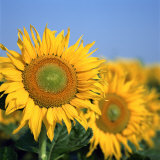 Close-Up of Sunflowers in Italy, Europe Photographic Print by Tony Gervis