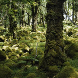 Derrycunnihy Oak Woods, County Kerry, Munster, Republic of Ireland, Europe Photographic Print by Andrew Mcconnell