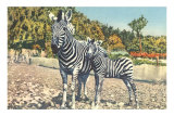 Zebra Mother and Colt Prints