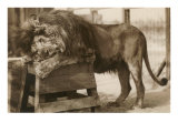 Circus Lion Prints