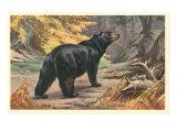 Black Bear Prints