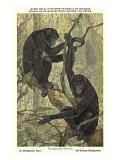 Bonobo Pygmy Chimpanzee Prints