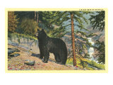 Black Bear in the Wild Prints