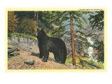 Black Bear in the Wild Prints