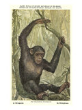 Swinging Chimpanzee in the Wild Posters