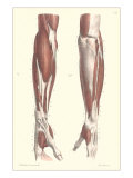 Musculature of the Forearm Prints