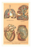 Illustrations of Internal Organs Photo