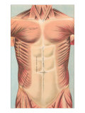 Musculature of the Chest Area Prints