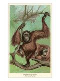 Orangutan Prints
