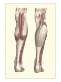 Musculature of the Lower Leg Poster