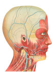 Muscles and Veins of the Head and Neck Poster