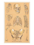 Parts of the Human Skeleton Posters