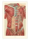Musculature of the Torso Prints