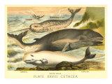 Varieties of Whales Posters