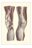 Musculature of the Knee Area Posters