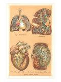 Illustrations of Internal Organs Art