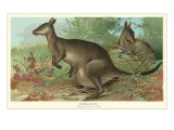 Big Gray Kangaroos Prints