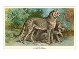 Cheetahs Prints