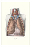 Lungs, Trachea and Thyroid Poster