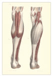 Musculature of the Lower Leg Posters