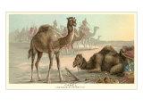 Caravan of Camels Prints