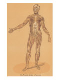 Anterior View of Human Musculature Posters