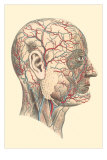 Veins and Arteries of the Face Poster