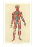 Muscles, Veins, Arteries, Nerves Posters