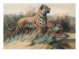 Tigers Print