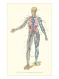 Circulatory System Print