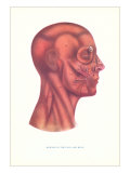 Muscles of the Face and Head in Profile Art