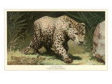 Leopard Stalking Posters