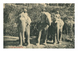 Elephants and Mahouts in Ceylon Prints