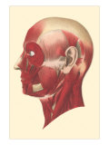 Muscles of the Head and Face Posters