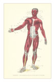 Front View of Superficial Muscles Posters